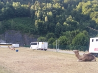 26 of 66 French Camels?